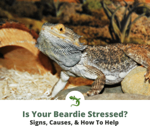 Stressed out bearded dragon