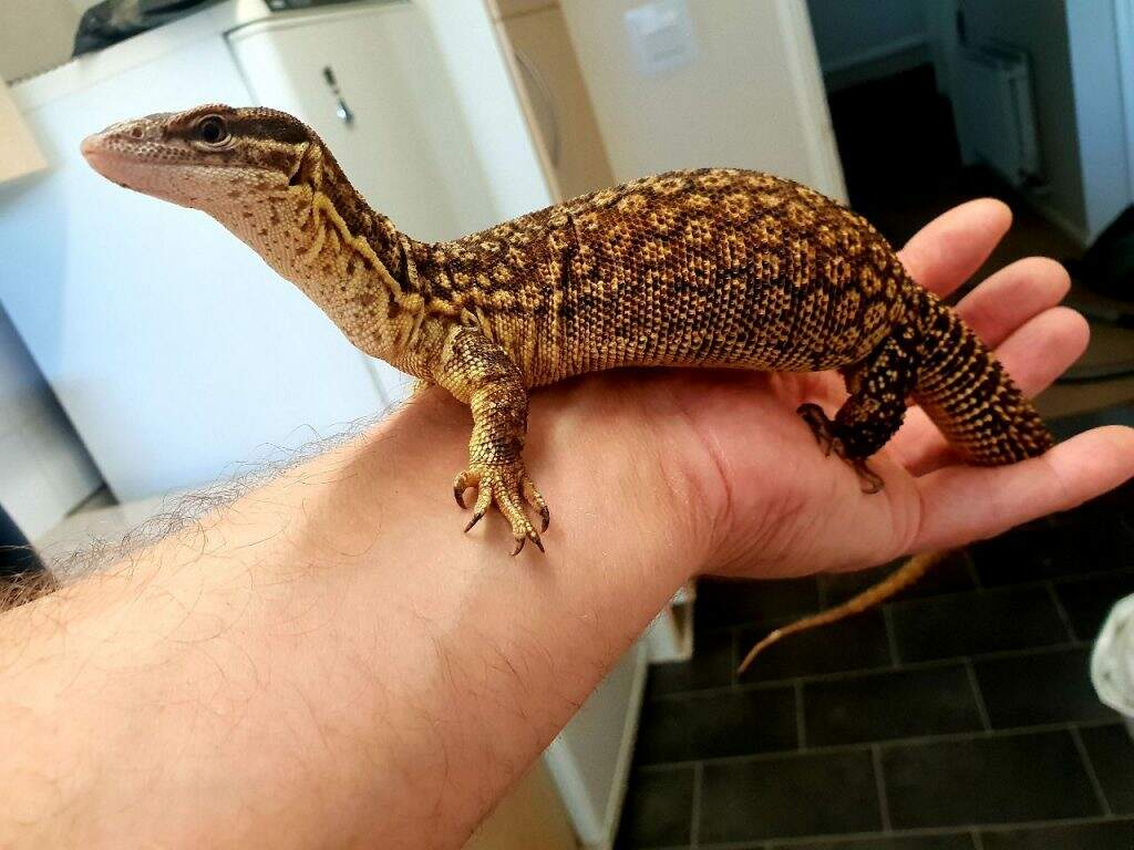 Ackie Monitor Care Guide Reptileknowhow