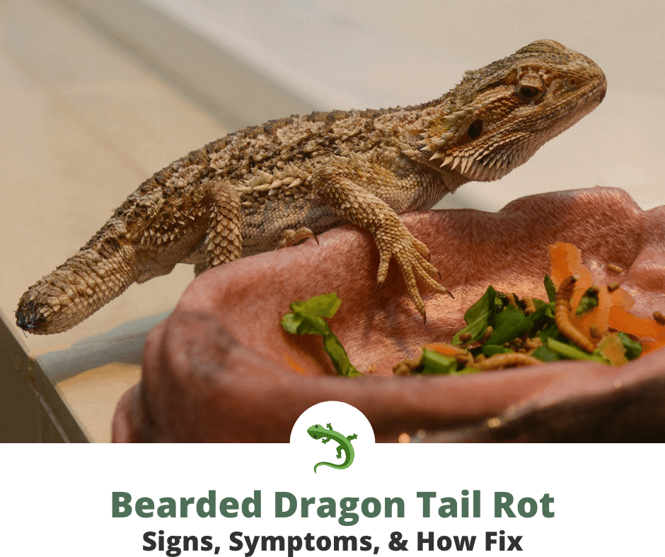 Bearded dragon with tail rot