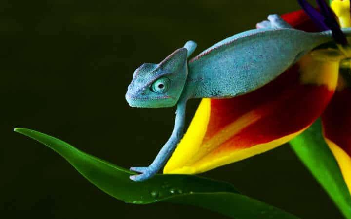 Blue chameleon on flower