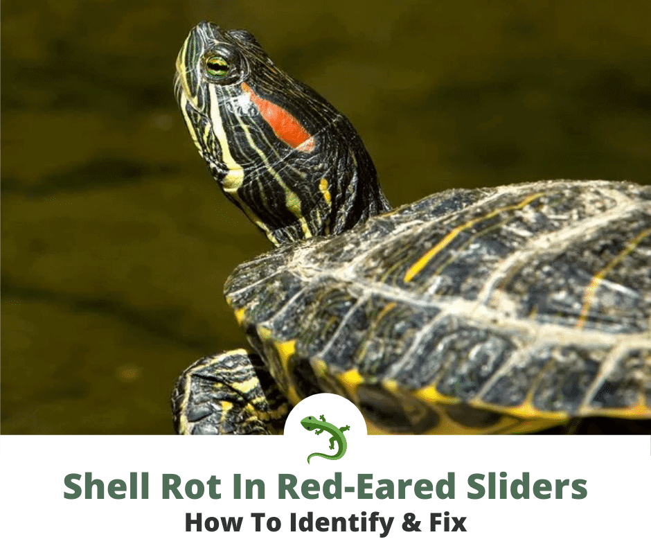 red eared slider in the wild