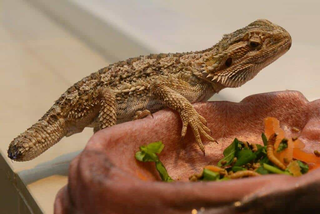 Bearded dragon with amputated tail due to tail rot