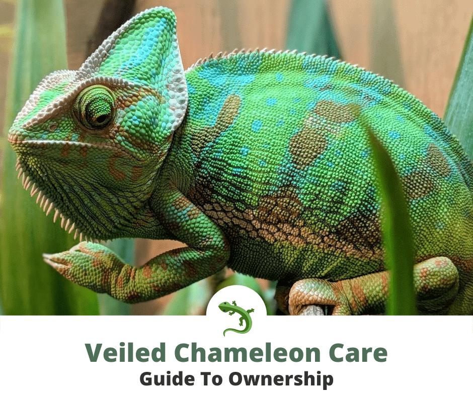 Veiled chameleon in terrarium