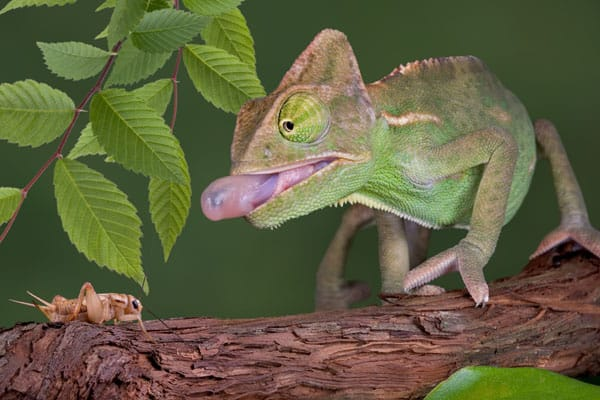 Veiled chameleon about to eat a cricket