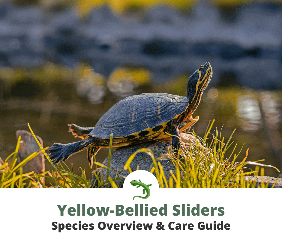 yellow-bellied slider in the wild thumbnail photo