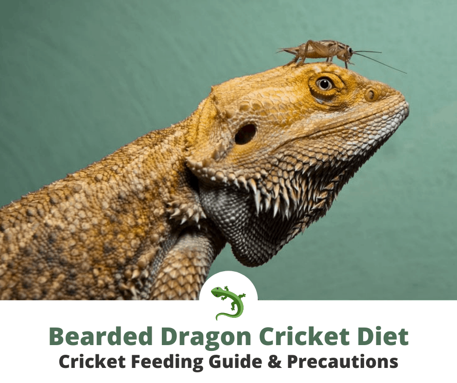 Bearded dragon with cricket on its head