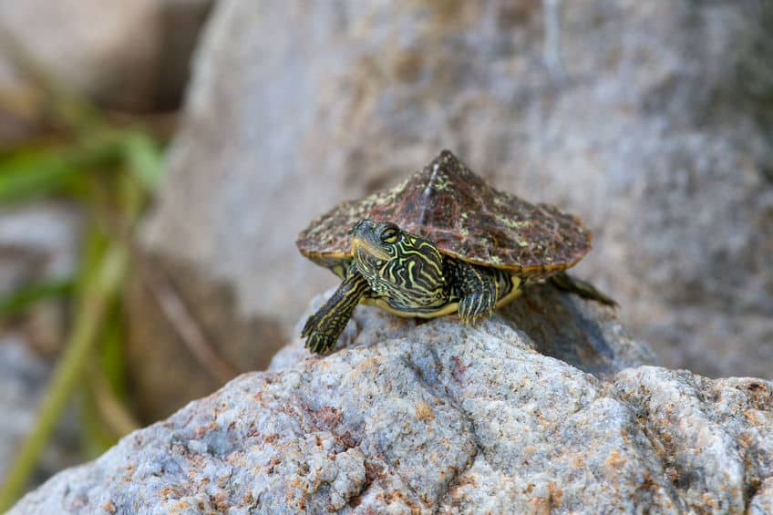 Northern Map turtle on rock