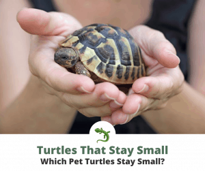 Turtles That Stay Small thumbnail image