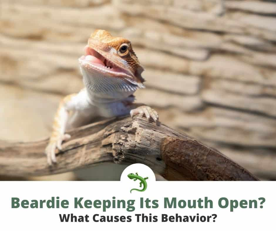 Bearded dragon opening its mouth