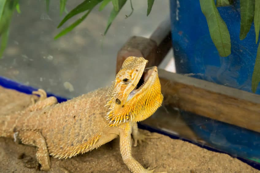 Bearded dragon opening its mouth as a sign of aggression