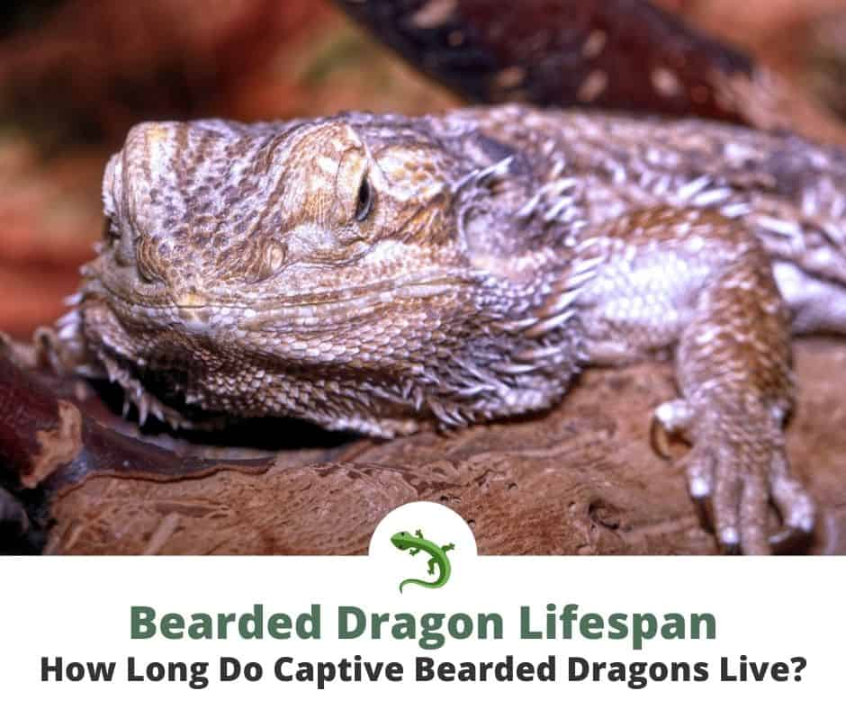 Old Looking Bearded Dragon