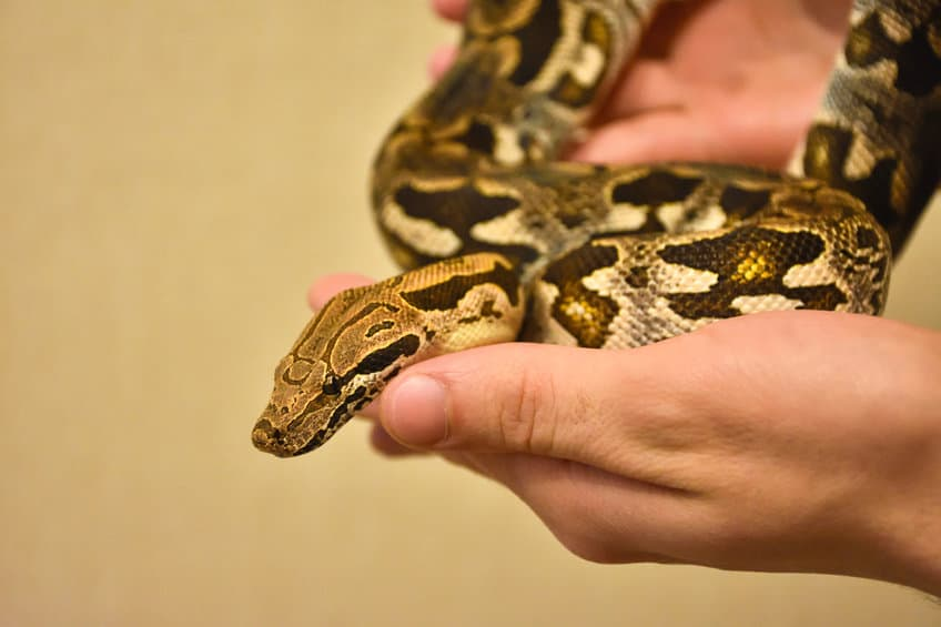 Ball python being held in hand
