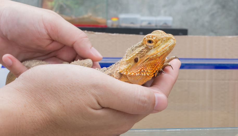 Bearded dragon being held in hand