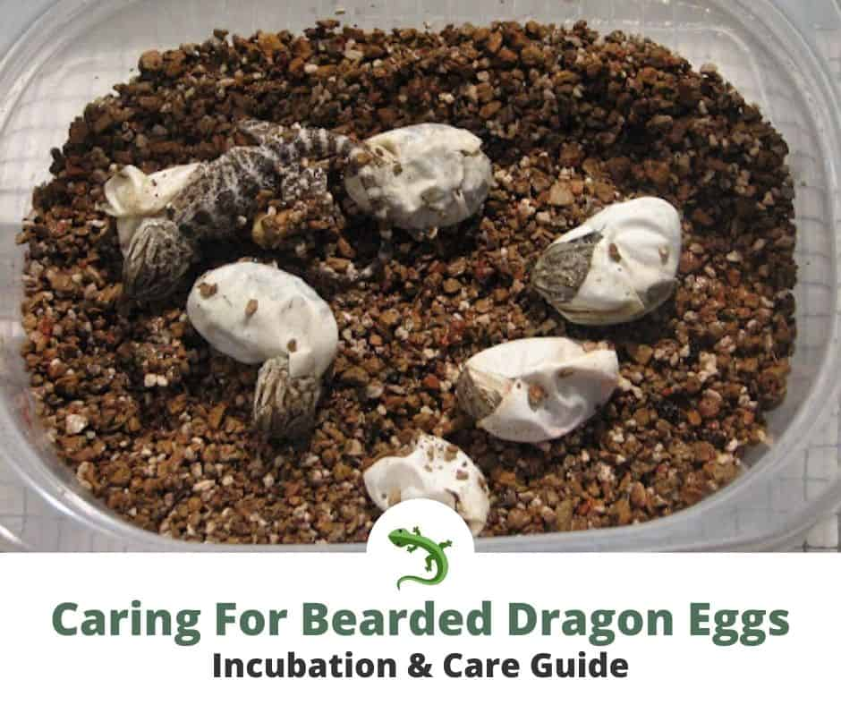 Five bearded dragons hatching from eggs