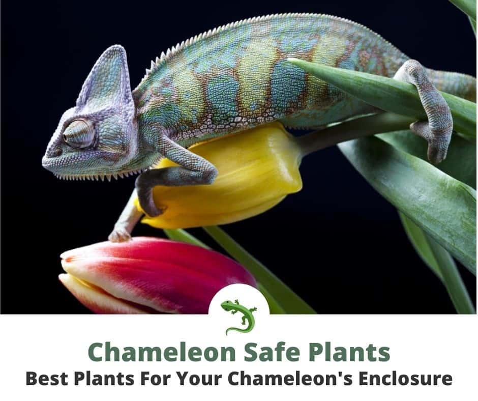 Purlple and green chameleon crawling on tulips