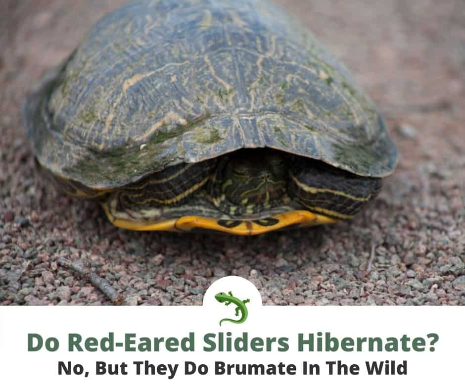 Small, Red-eared slider brumating in the wild