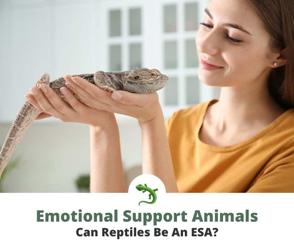 Woman holding an emotional support bearded dragon