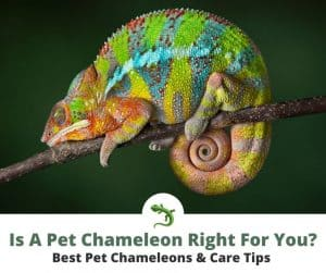 Pet chameleon resting on a thin tree branch