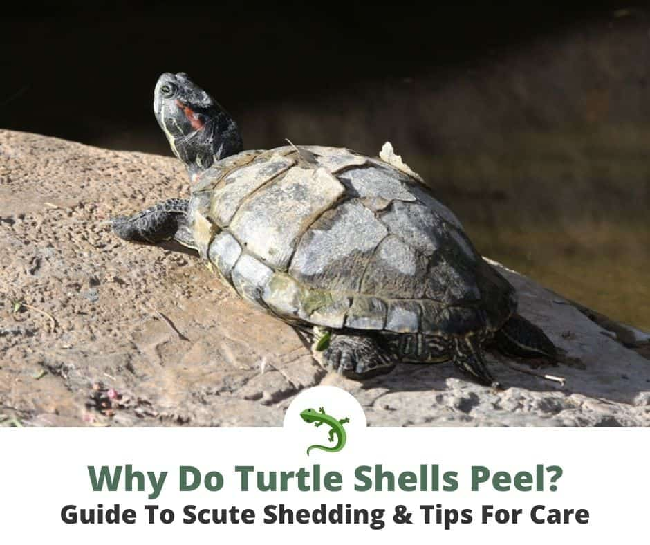 Red eared slider with a shell that is peeling