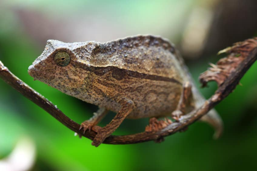 Small Pygmy leaf chameleon resting on a thin tree branch