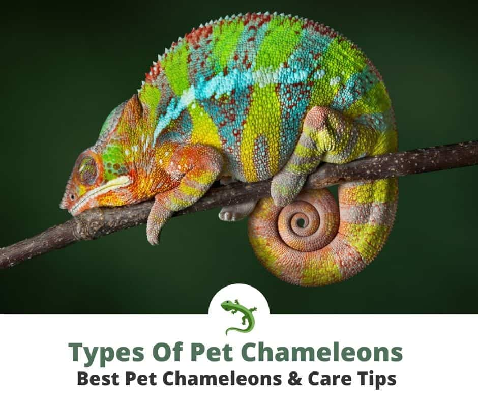 Pet chameleon resting on a thin tree branch.
