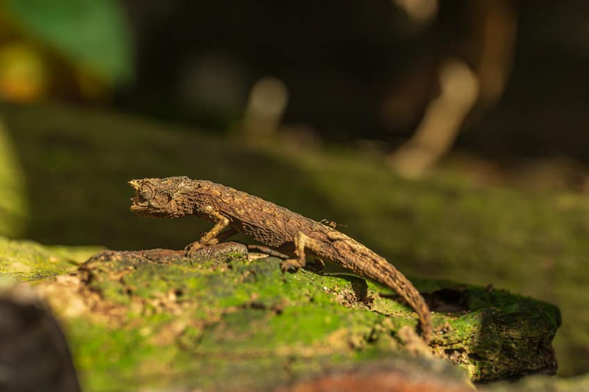 Dwarf chameleons are the smallest species in the world