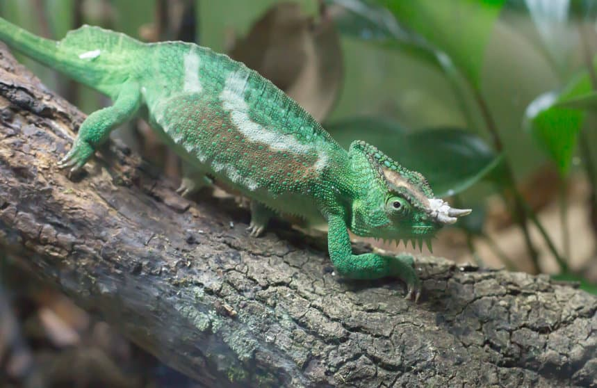 Close up of a Jackson's chameleon resting on a branch