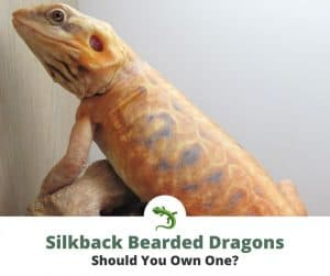 Silkback bearded dragon that does not have scales