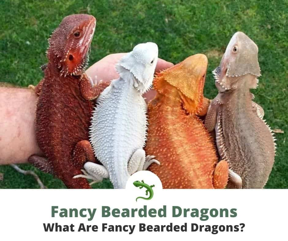 Four fancy bearded dragons sitting together