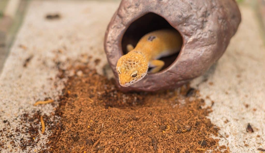 Leopard gecko hiding and not eating