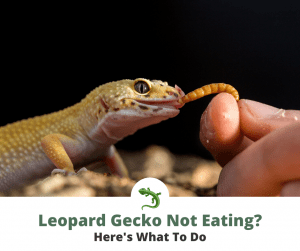 Leopard gecko not eating a worm that it's owner is holding